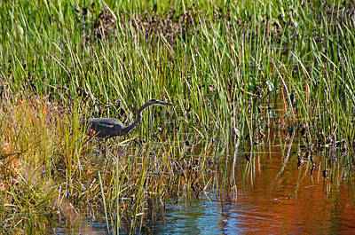 Grass Photograph - Blue Heron Hiding In Marsh by Donna Doherty