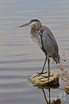 Photograph - Blue Heron IIi by Gene Berkenbile