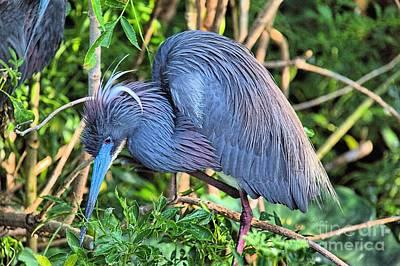 Photograph - Blue Heron In Breeding Plummage by Randy Matthews