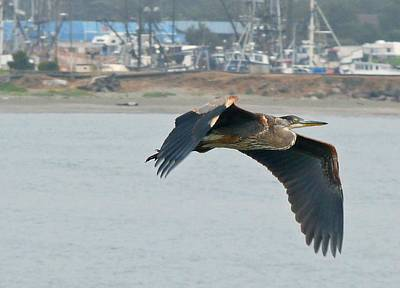 Photograph - Blue Heron In Flight by Gracia  Molloy