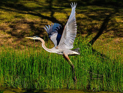 Photograph - Blue Heron In Flight by John Johnson