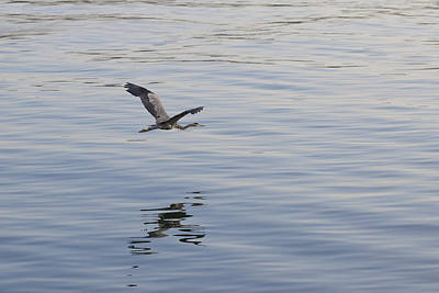 Photograph - Blue Heron In Flight by John Noel