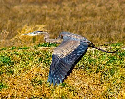 Photograph - Blue Heron In Flight by Nick Zelinsky