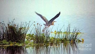 Photograph - Blue Heron In Flight_large by Randy Matthews