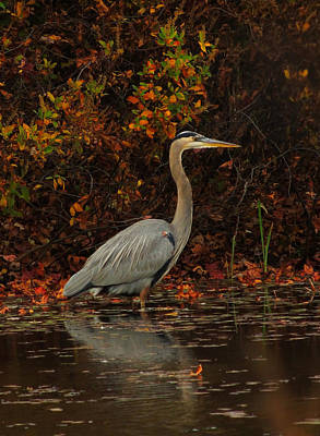 Photograph - Blue Heron In The Fall by Raymond Salani III