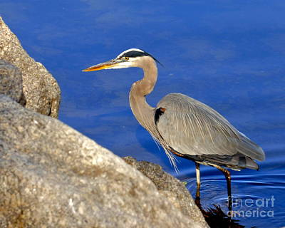 Photograph - Blue Heron In The Savannah River by Jean Wright