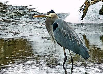 Photograph - Blue Heron by Janice Drew