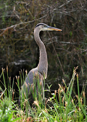 Photograph - Blue Heron Of The Everglades by Kathleen Scanlan