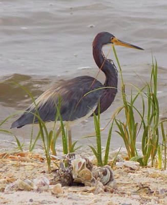 Photograph - Blue Heron On Oyster Shell Beach by Sheri McLeroy