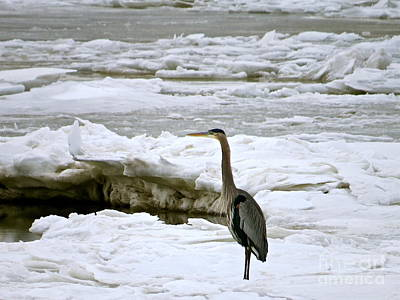 Photograph - Blue Heron On The Icy Bay by Nancy Patterson