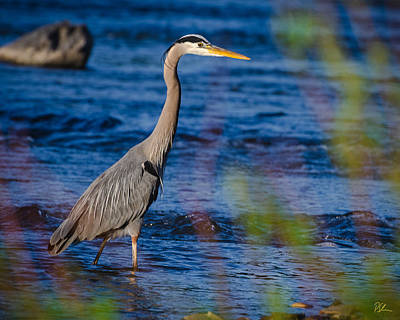 Photograph - Blue Heron by Pat Scanlon