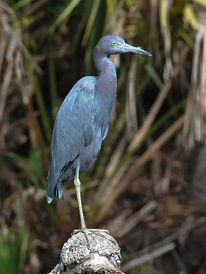 Photograph - Blue Heron by Paul Miller