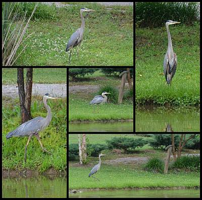 Photograph - Blue Heron Photomontage by Maria Urso