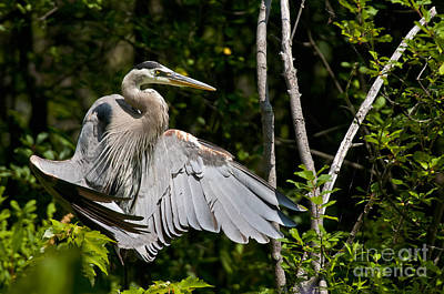 Western Art - Blue Heron Pictures 42 by Heron  Images