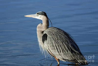 Wildlife Photograph - Blue Heron Portrait by David Cutts