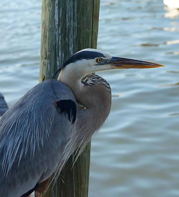 Photograph - Blue Heron Pose 1 by Carmen Del Valle