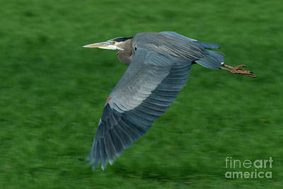 Blue Heron Art Print by Rod Wiens