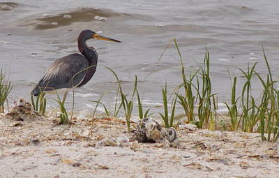 Photograph - Blue Heron Seashore Watch by Sheri McLeroy