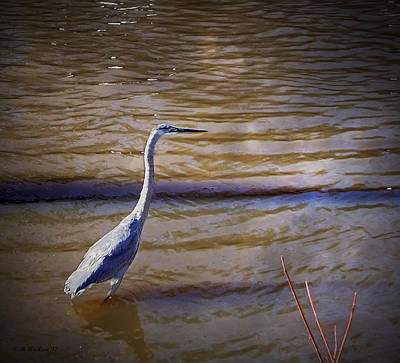 Blue Heron - Shallow Water Print by Brian Wallace