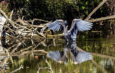 Photograph - Blue Heron Stance by David Lester