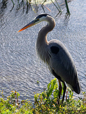 Ibis Painting - Blue Heron Standing Tall by April Antonia