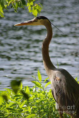 Photograph - Blue Heron Sunning by Tannis  Baldwin