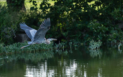 Photograph - Blue Heron Take-off by John Johnson