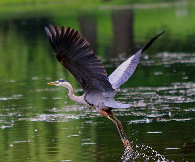 Blue Heron Takeing Off Art Print by Edward Kocienski