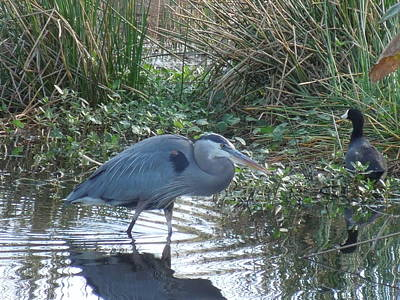 Photograph - Blue Heron Wading by Ron Davidson