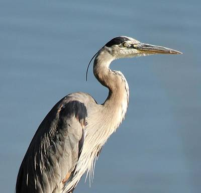 Photograph - Blue Heron Waiting by Diane Alexander