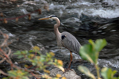 Photograph - Blue Heron - Water Bird by Dragan Kudjerski