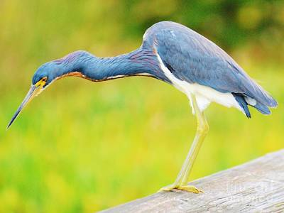 Art Print featuring the photograph Blue Heron by William Wyckoff