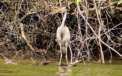 Blue Herron Photograph - Blue Herron by Debra Forand