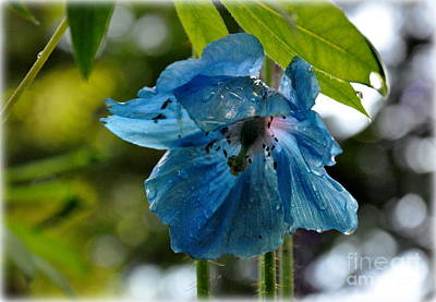 Blue Himalayan Poppy Art Print by Tanya  Searcy