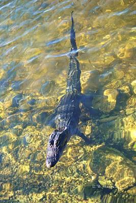 Photograph - Blue Hole Alligator by R B Harper