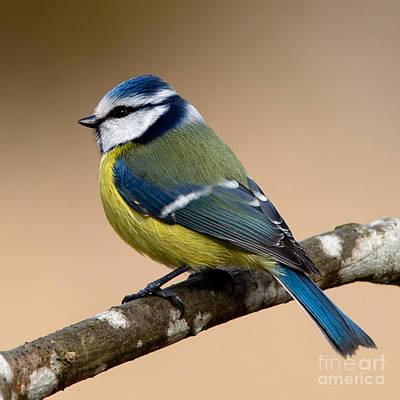 Blue Tit Photograph - Blue Hood  by Torbjorn Swenelius