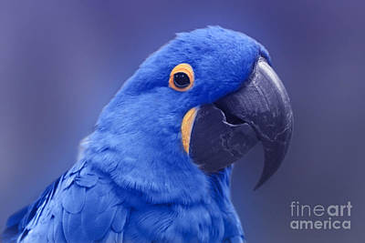Photograph - Blue Hyacinth Macaw - Anodorhynchus Hyacinthinus - Puohokamoa Hoolawa Maui Hawaii  by Sharon Mau