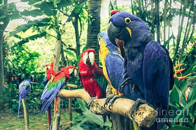 Photograph - Blue Hyacinth Macaw Araras Aloha Mauli Hiwa Ho'olawa Maui Hawaii by Sharon Mau