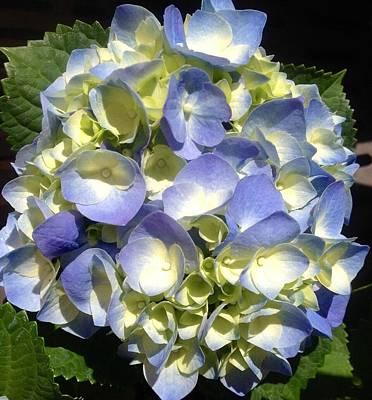 Photograph - Blue Hydrangea  by Alohi Fujimoto