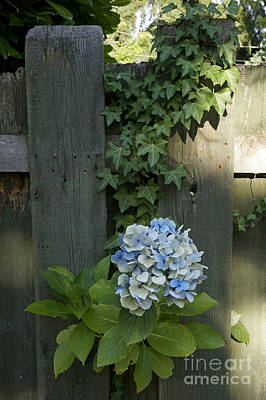 Photograph - Blue Hydrangea And Ivy by John  Mitchell