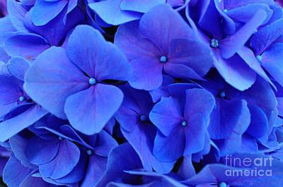 Photograph - Blue Hydrangea by Doug Heavlow