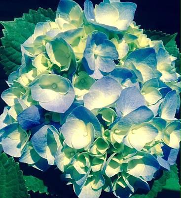 Photograph - Blue Hydrangea - Edit by Alohi Fujimoto