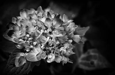 Photograph - Blue Hydrangea In Monochrome 2 by Ben Shields