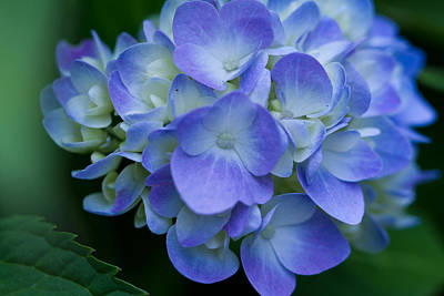Art Print featuring the photograph Blue Hydrangea by John Hoey