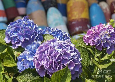 Rockport Photograph - Blue Hydrangea by Juli Scalzi