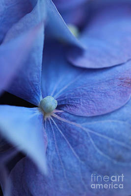 Photograph - Blue Hydrangea by Morgan Wright