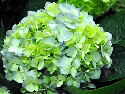 Photograph - Blue Hydrangea Petals by Kristina Deane