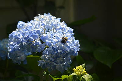 Photograph - Blue Hydrangea With Bumblebee by Maria Urso