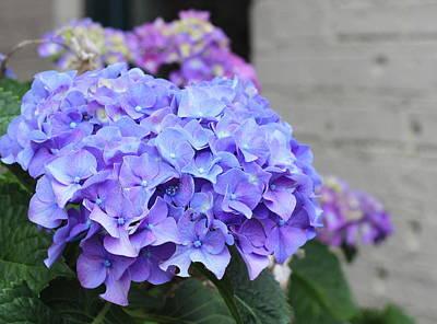 Stem Photograph - Blue Hydrangeas by Cathy Lindsey