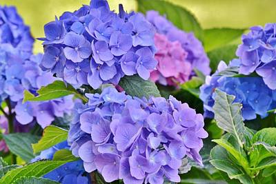 Photograph - Blue Hydrangeas by Kim Bemis